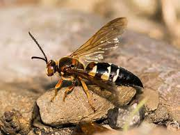 Cicada Killer Wasps In NJ | Facts And Information You Need To Know